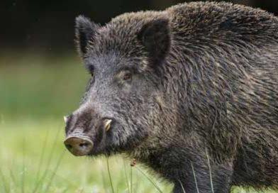 Parco Aurunci – Danni alle produzioni agricole e alla zootecnia: si cambia