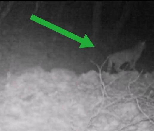 Parco dei Monti Aurunci, Eccezionale avvistamento: spunta un gatto selvatico (Il Video)